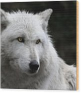 Grey Wolf Cover Of Canadian Geographic Magazine Wood Print