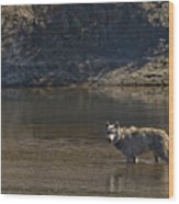 Grey Wolf In The Yellowstone River-signed-#4363 Wood Print