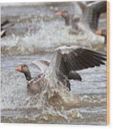 Greylag Goose Landing Wood Print