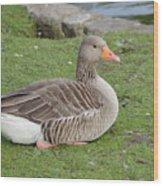 Greylag Goose Resting Wood Print