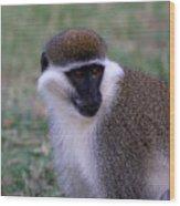 Grivet Monkey Ethiopia Wood Print