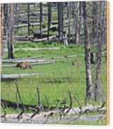 Grizzly Bear And Cub Cross An Area Of Regenerating Forest Fire Wood Print