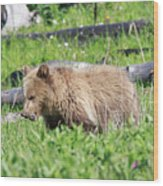 Grizzly Bear Cub In Yellowstone National Park Wood Print