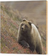 Grizzly Bear In Berries Wood Print