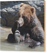 Grizzly Bear Licking His Paw While Seated In A Muddy River Wood Print