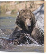 Grizzly Bear Plays In Water Wood Print