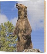 Grizzly Bear Standing On A Ridge Wood Print