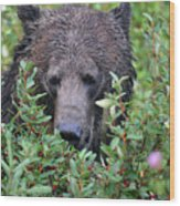 Grizzly In The Berry Bushes Wood Print