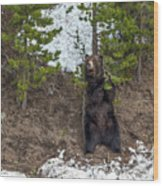 Grizzly Shaking A Tree Wood Print