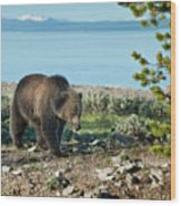 Grizzly Sow At Yellowstone Lake Wood Print