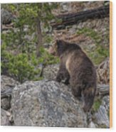 Grizzly Sow In Yellowstone Park Wood Print