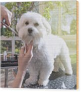 Grooming The Neck Of Adorable White Dog Wood Print