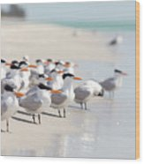 Group Of Terns On Sandy Beach Wood Print by Angela Auclair