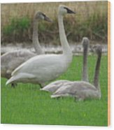 Group Of Young Swans Wood Print