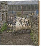 Group Yorkshire Sheep Wood Print