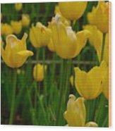 Grouping Of Yellow Tulips Wood Print