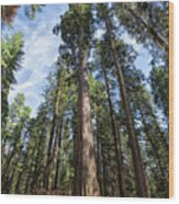 Grove Of Big Trees Wood Print