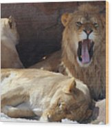 Growling Male Lion In Den With Two Females Wood Print