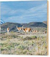 Guanaco In Patagonia Wood Print