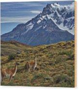 Guanacos In Patagonia Wood Print