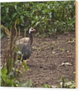 Guineahen Looking For Food Wood Print