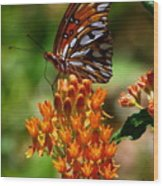 Gulf Fritillary On Butterflyweed Wood Print