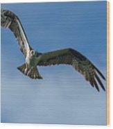 Gulf Osprey Wood Print