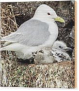 Gull Adult And Chick On Cliff Wood Print