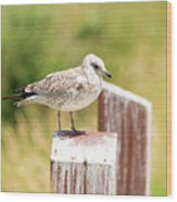 Gull On A Post Wood Print