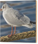 Gull On A Rope Wood Print