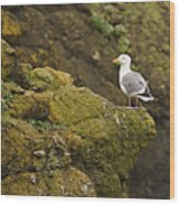 Gull On Cliff Edge Wood Print