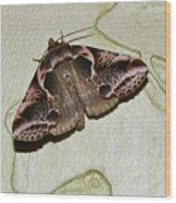 Habrosyne Scripta Wood Print