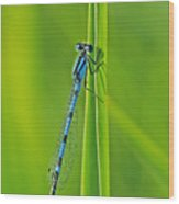 Hagens Bluet Wood Print