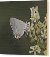 Hairstreak Butterfly Wood Print