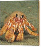Hairy Hermit Crab Wood Print
