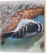 Hairy Woodpecker 2 Wood Print