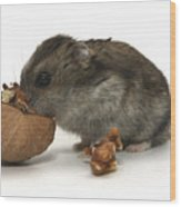 Hamster Eating A Walnut  Wood Print