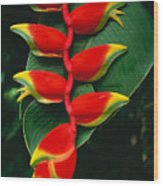 Hanging Heliconia Wood Print