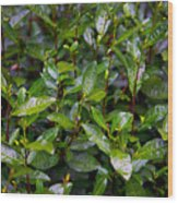 Hangzhou Tea Wood Print