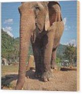 Happy Thai Elephant In Chiang Mai Wood Print