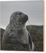 Harbor Seal In Stormy Weather Wood Print