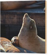 Harbor Seal In The Sun Wood Print