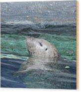 Harbor Seal Poking His Head Out Of The Water Wood Print