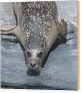 Harbor Seal Ready To Plunge Into The Water Wood Print