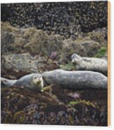 Harbor Seals Basking - Oregon Coast Wood Print