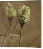 Hare's-tail Cottongrass 1 Wood Print