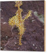 Harlequin Ghost Pipefish - Solenostomus Paradoxus Wood Print