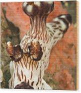 Harlequin Shrimp Hymenocera Elegans Wood Print
