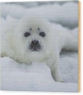 Harp Seal Pup Wood Print