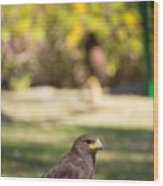Harris Hawk Looking At Infinity Wood Print